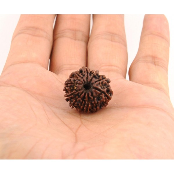 Certified Gyarah Mukhi Rudraksha Beads - 20MM