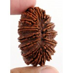 18 Mukhi Certified Holy Rudraksha Bead with Xray Report